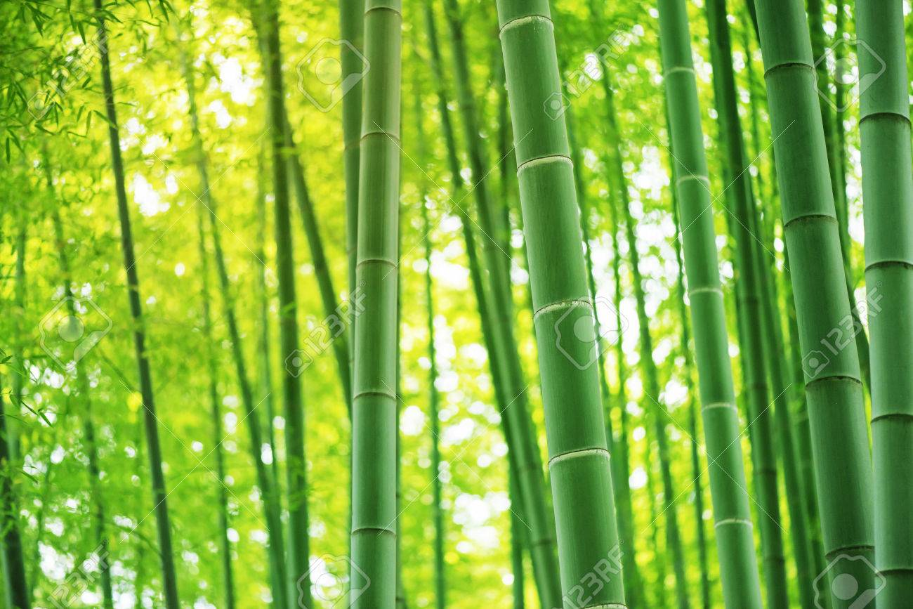 Bamboo forest, Tourism. - 50143850