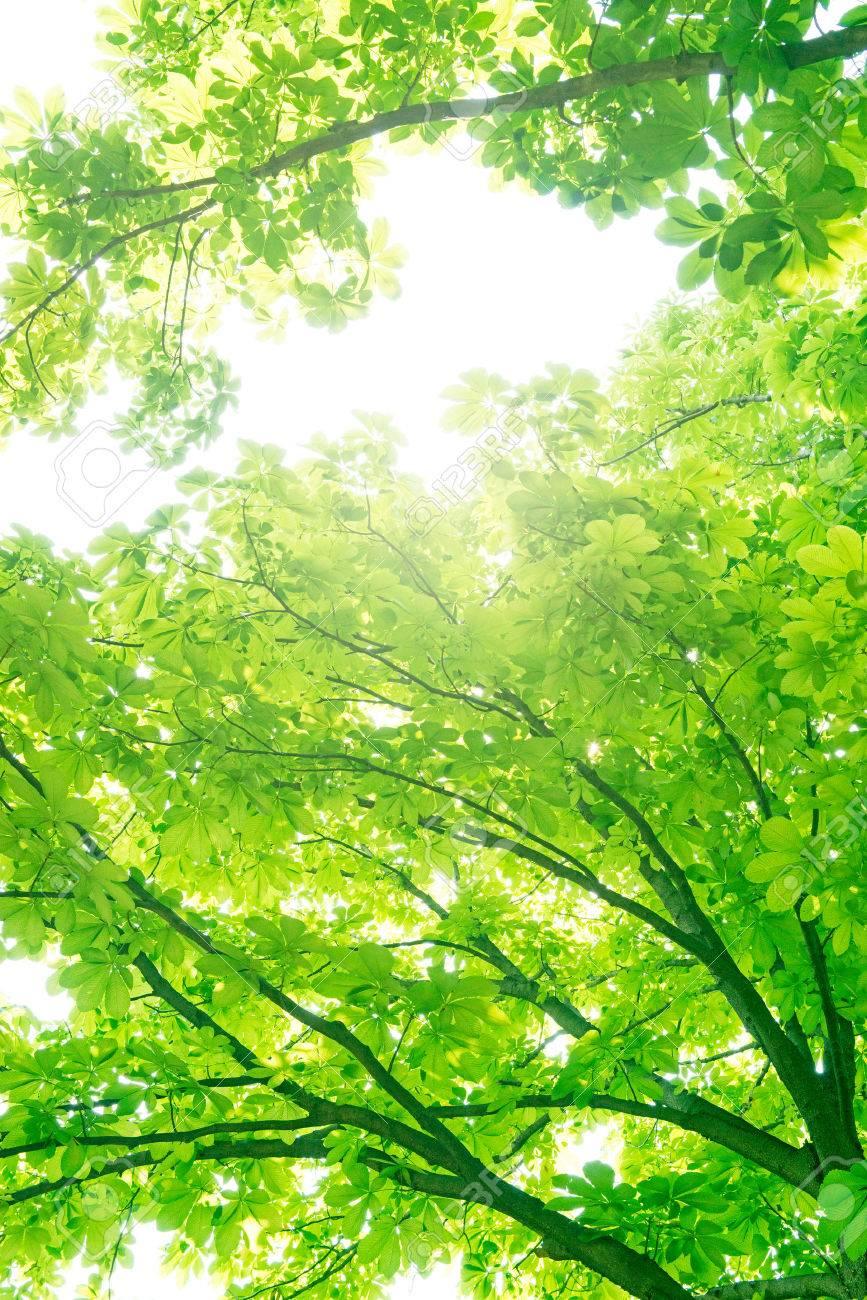 Chestnut tree, Ecology - 50163301