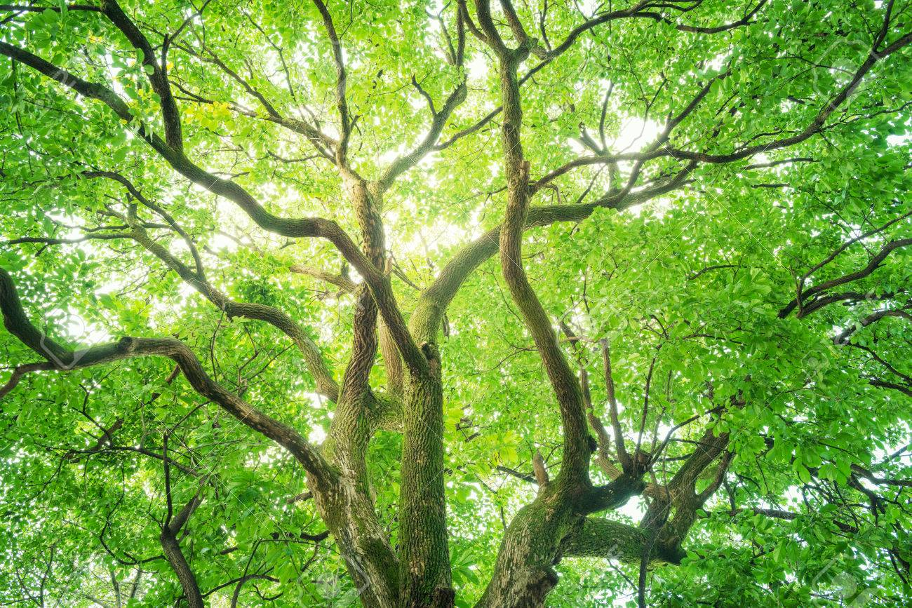 Tree, Forest, Camphor tree, Ecology, Fresh green. - 75760939