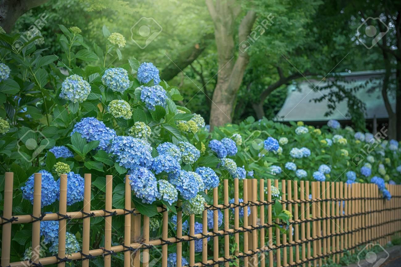 Hydrangea, Japanese rainy season. Heart shape. - 80385307
