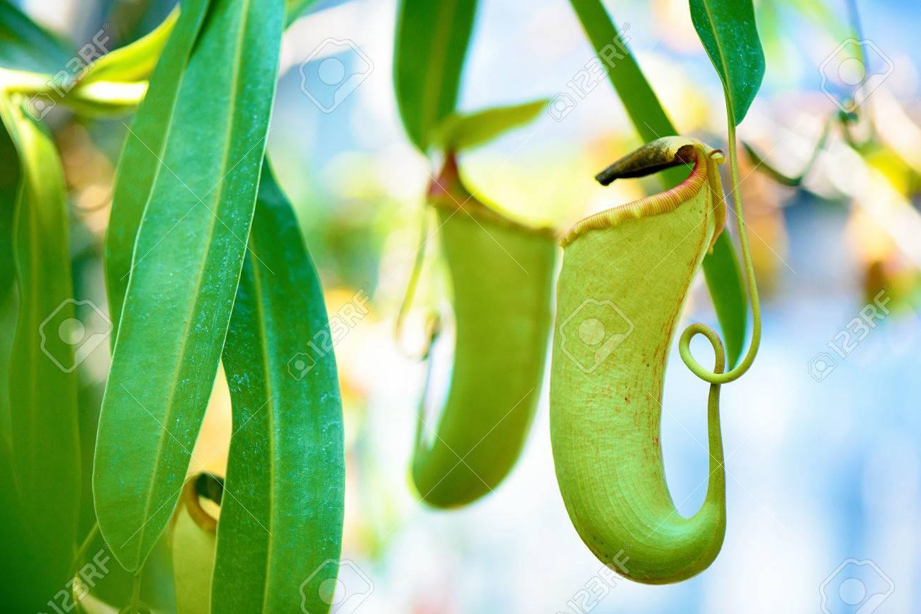 Carnivorous plant - 81794554