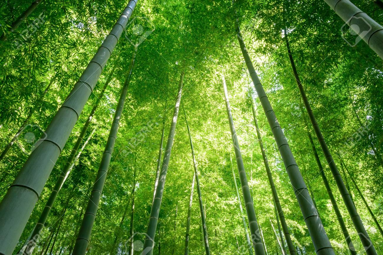 Bamboo forest in Japan. - 82803136