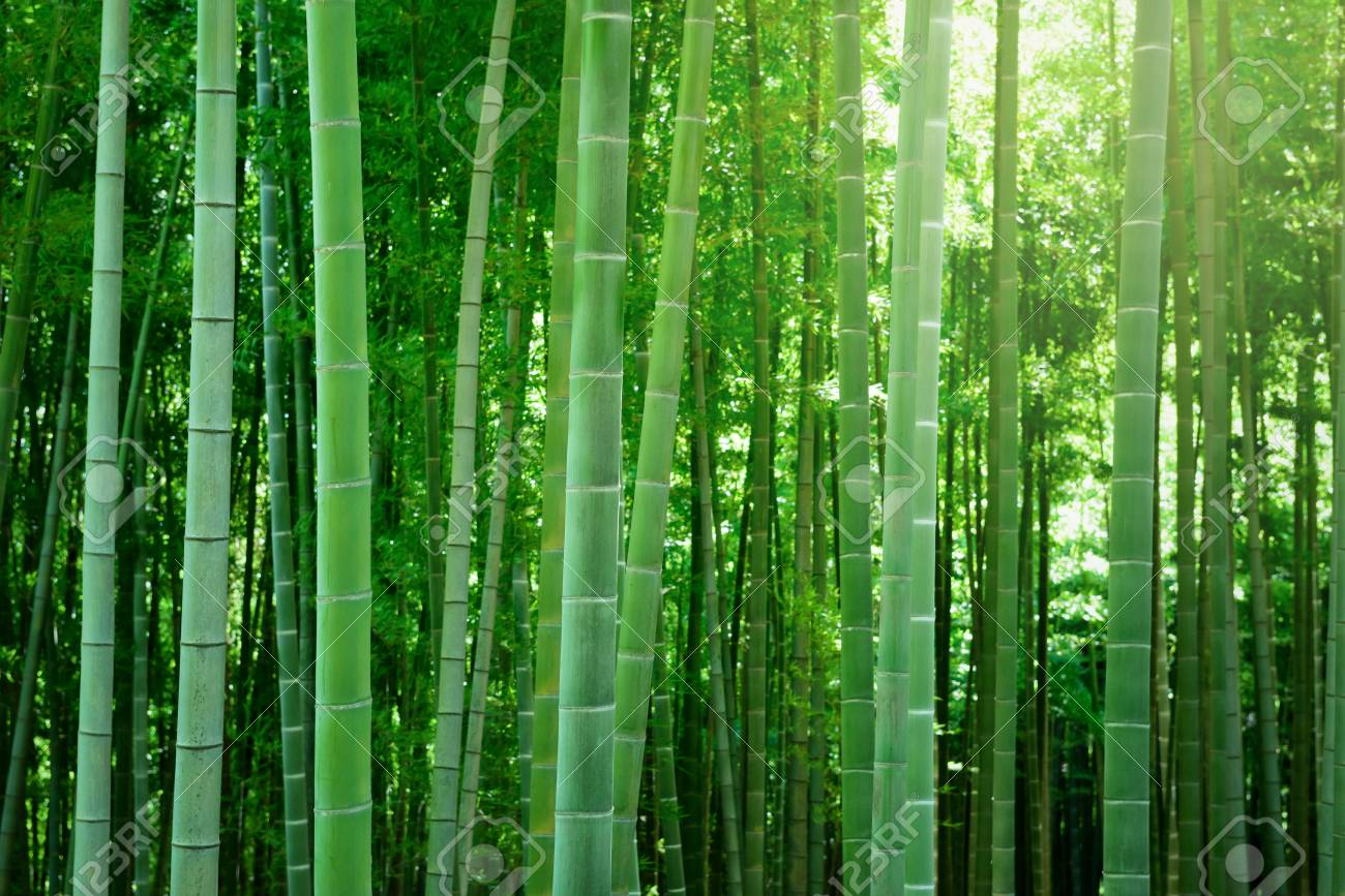Bamboo forest in Japan. - 82803137