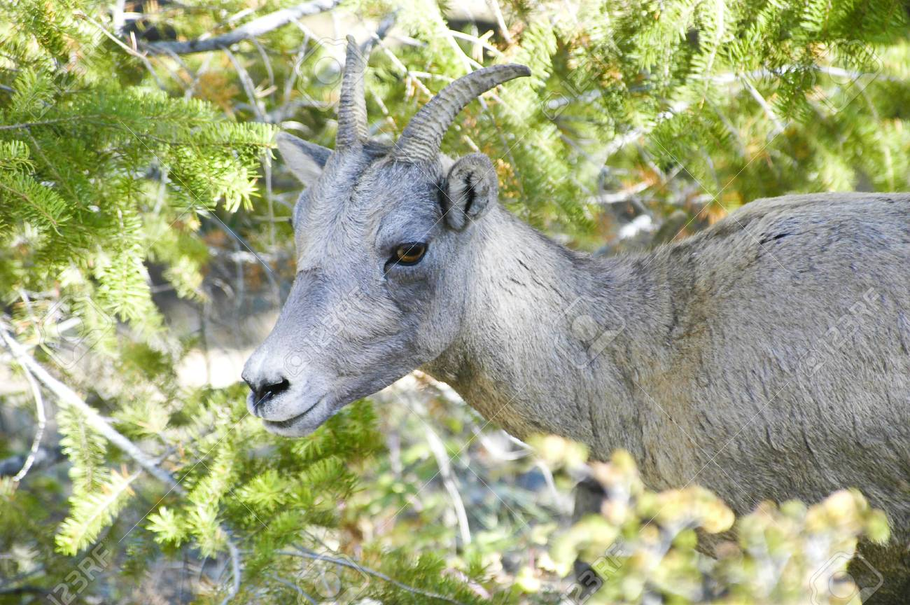 A young big horn sheep peeking thru the trees Stock Photo - 6571530