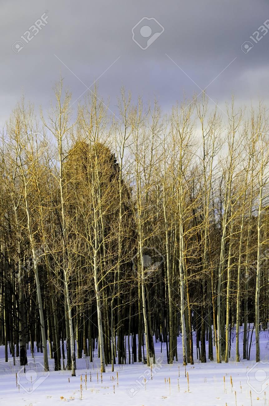 Aspens against a dark sky in winter Stock Photo - 9653799