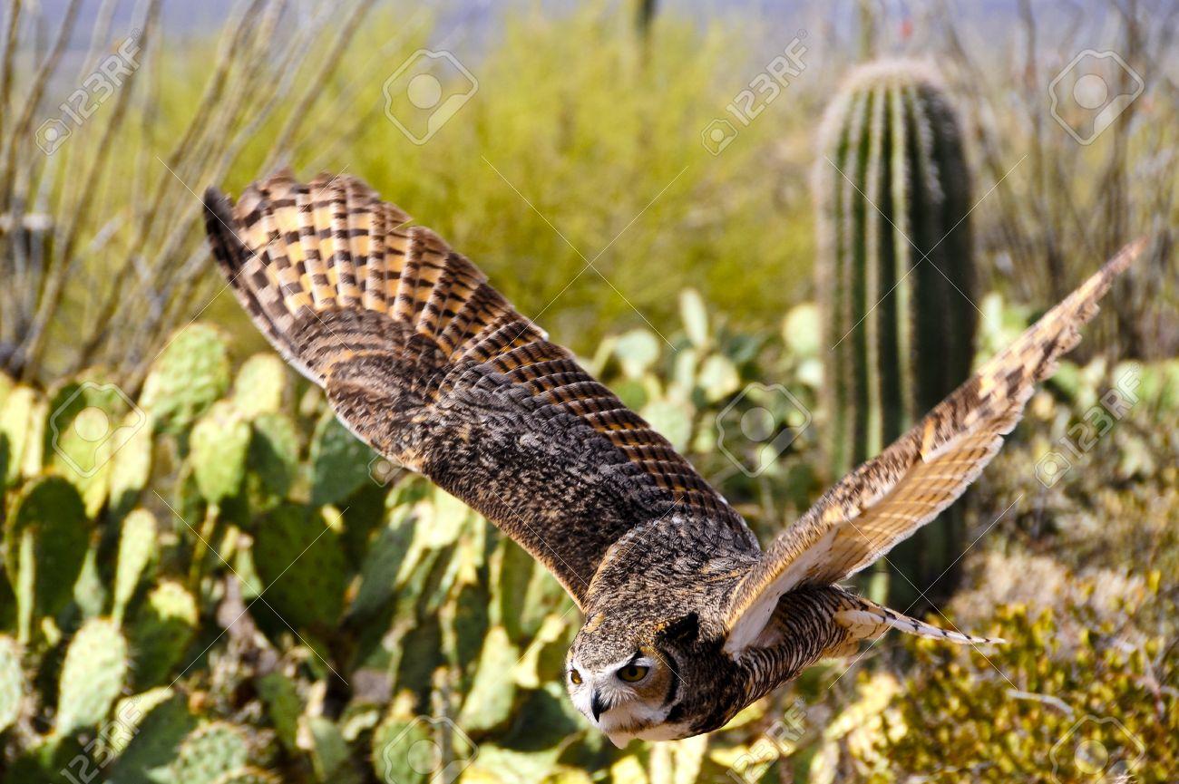 Great Horned Owl flying over desert, wings showing motion Stock Photo - 12292875