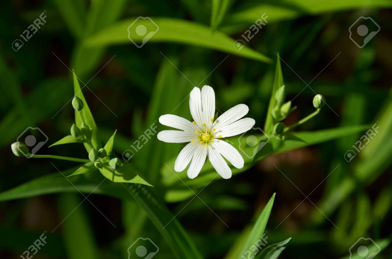 Stellaria holostea or Greater stitchwort – a little white flower with the five doubled petals. A snow-white corolla formed by the delicate striped petals; scene between the green shoots - 135835662