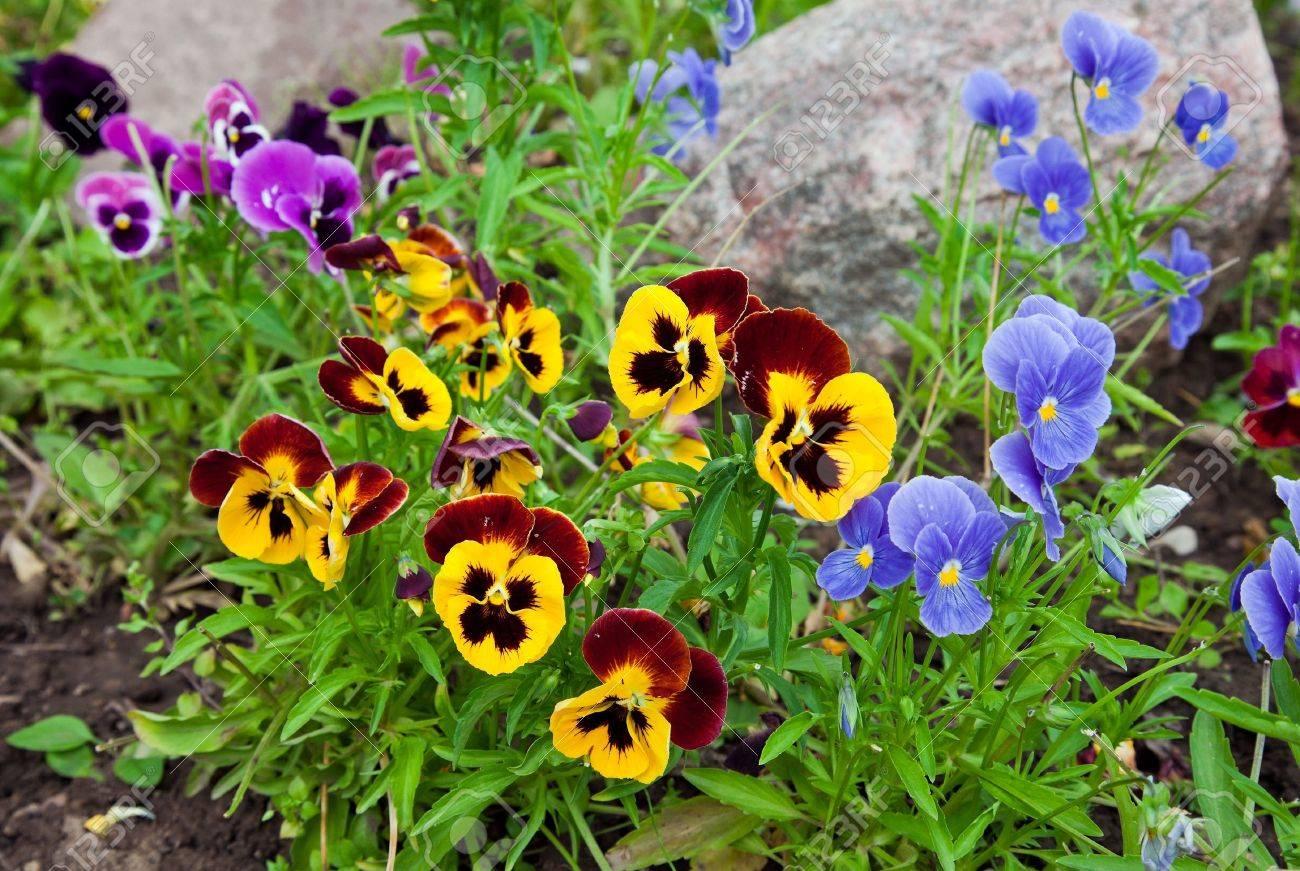 Violas or Pansies Closeup in a Garden - 11788438