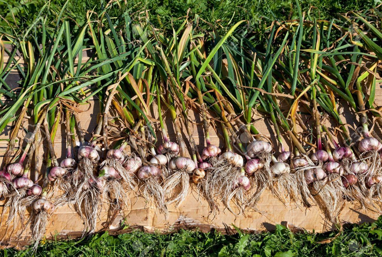 Gathered organic garlic drying at the sun - 16399276