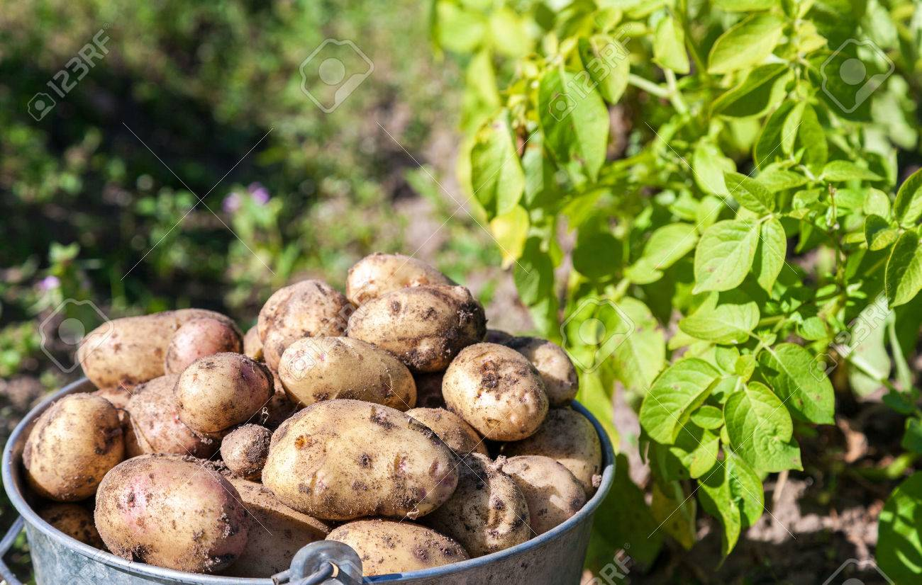 A bucket of potatoes new harvesting in the garden closeup - 44951315