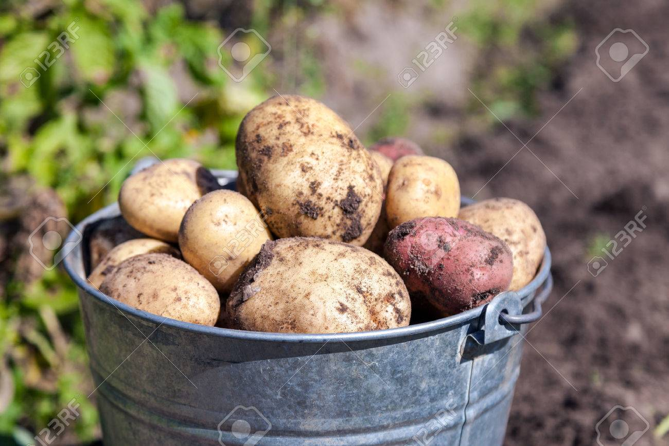A bucket of potatoes new harvesting in the garden closeup - 44951322