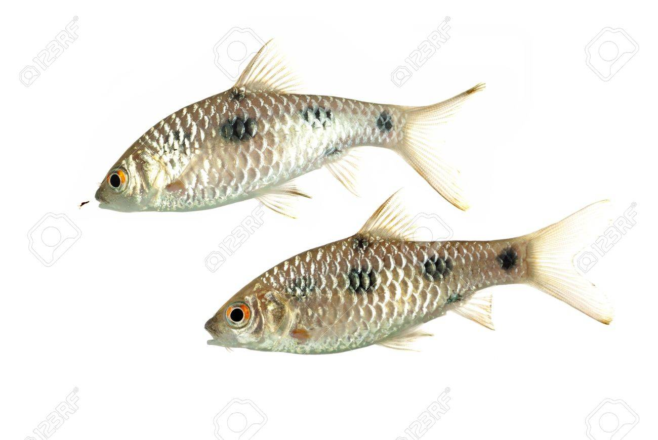 A Pair of Puntius sealei also known as Borneo Spotted Barbs Stock Photo - 10062305
