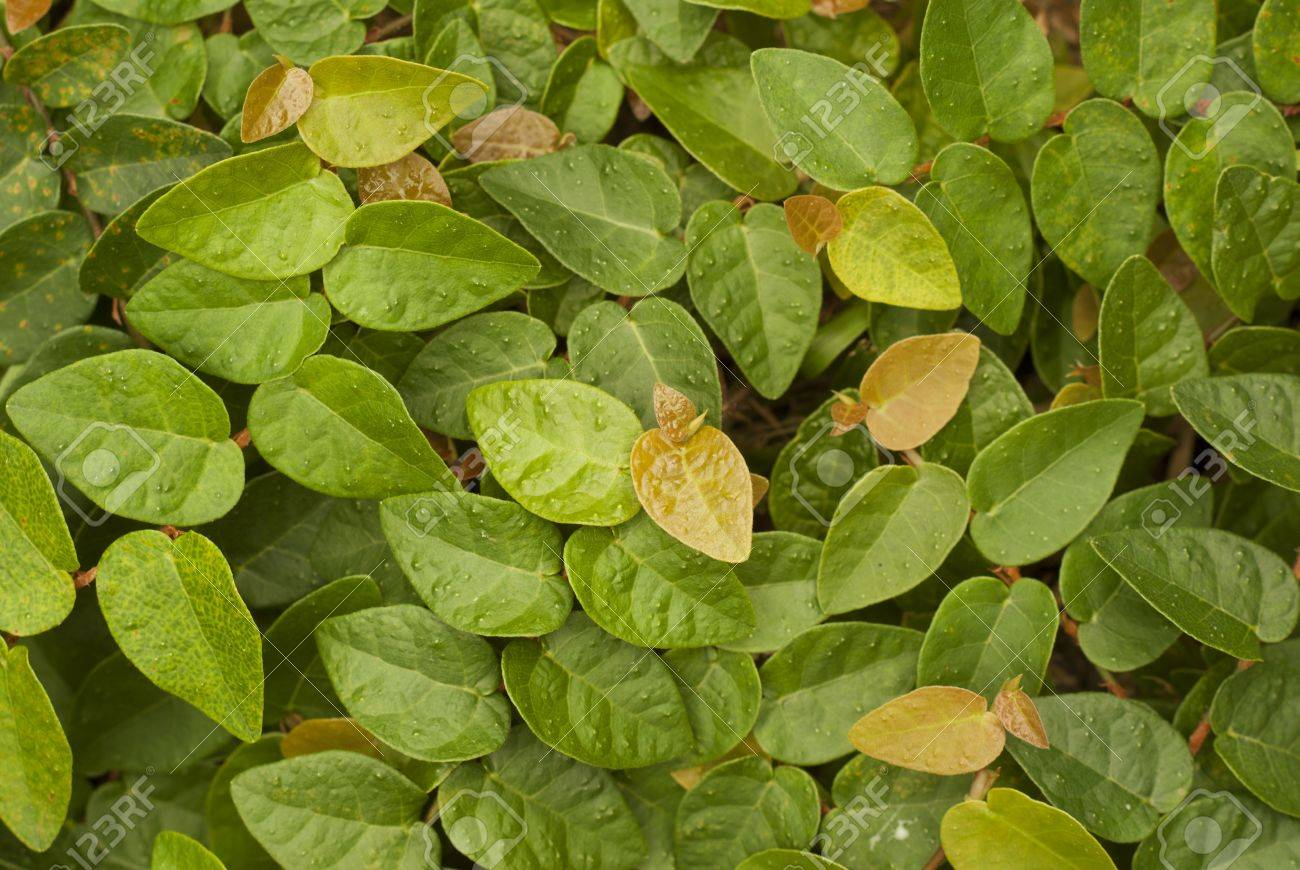 Creeping Fig - Popular Landscaping Plants in Asia Stock Photo - 14732247 - Creeping Fig - Popular Landscaping Plants In Asia Stock Photo