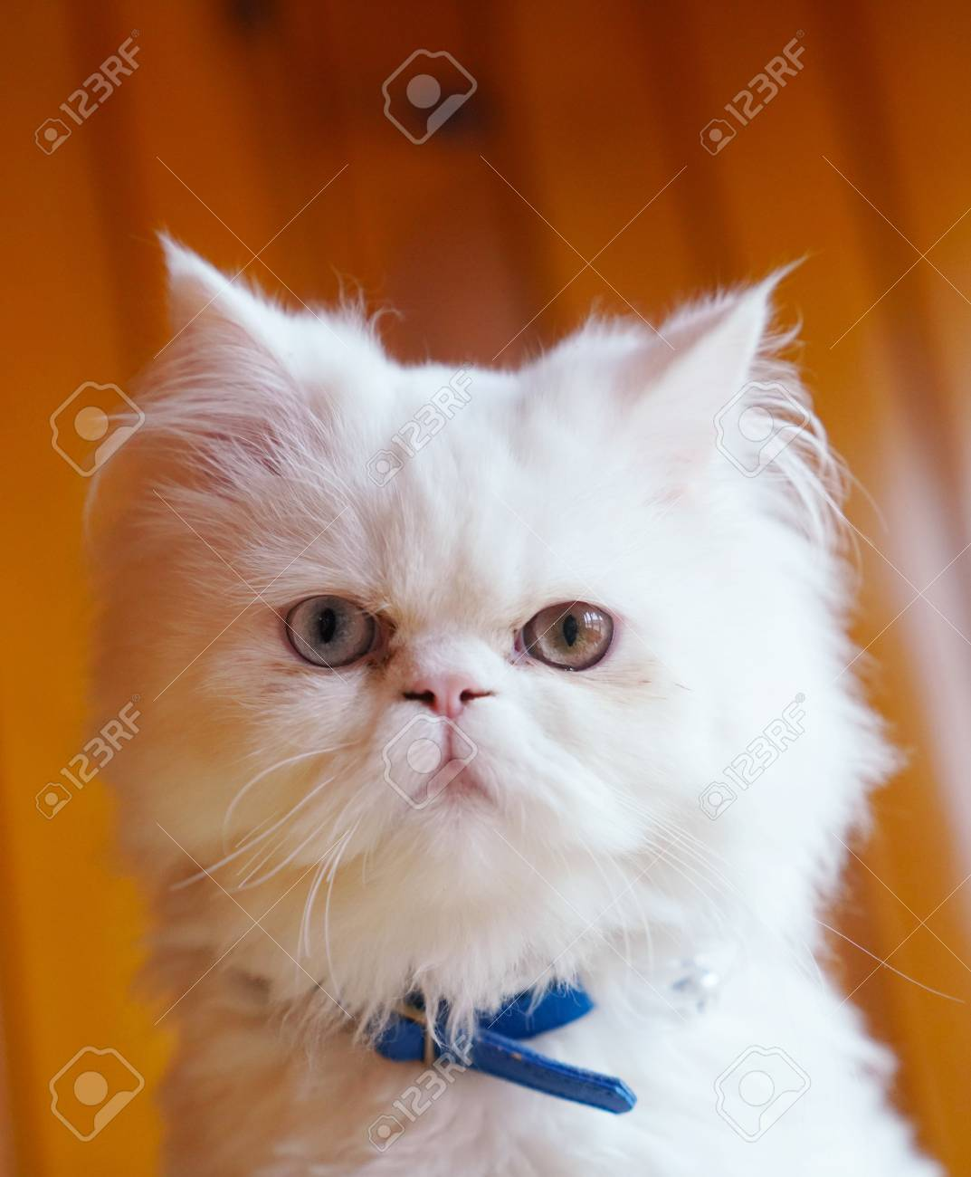 118a0d9d8c Persian And Turkish Van Cats Cross Breed