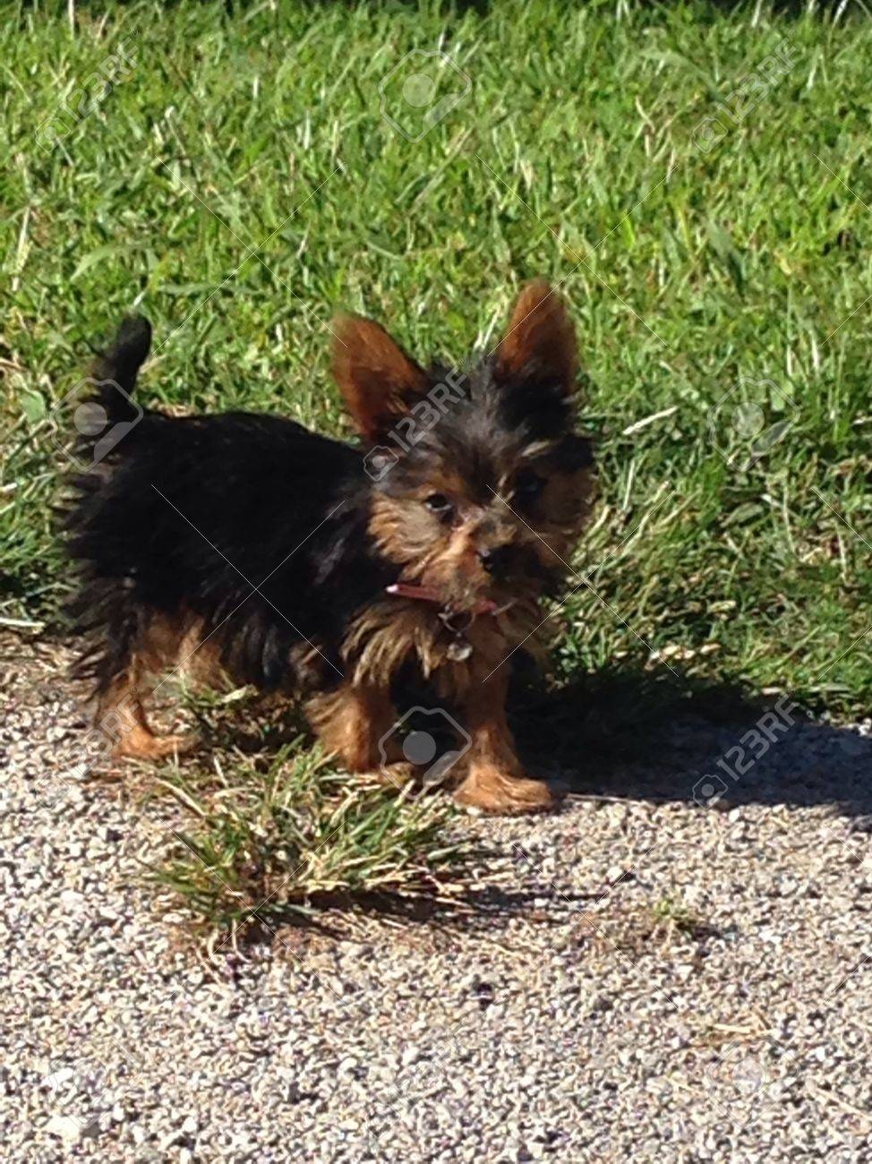3 Month Old Yorkie Puppy Stock Photo Picture And Royalty Free Image