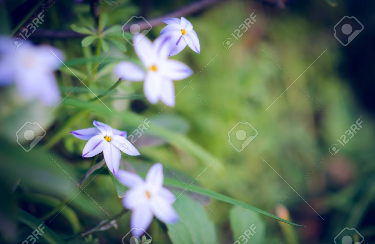 Tiny White Flowers With Six Petals Blooming At The Edge Of The
