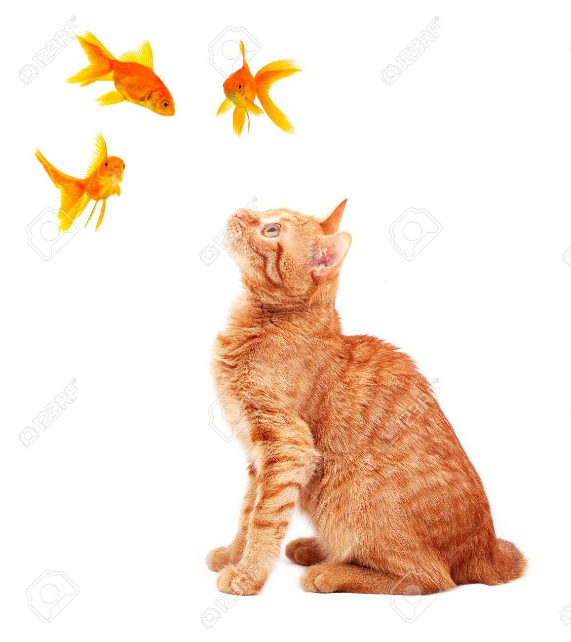 Cat playing with goldfishes isolated on white background Stock Photo - 6557378