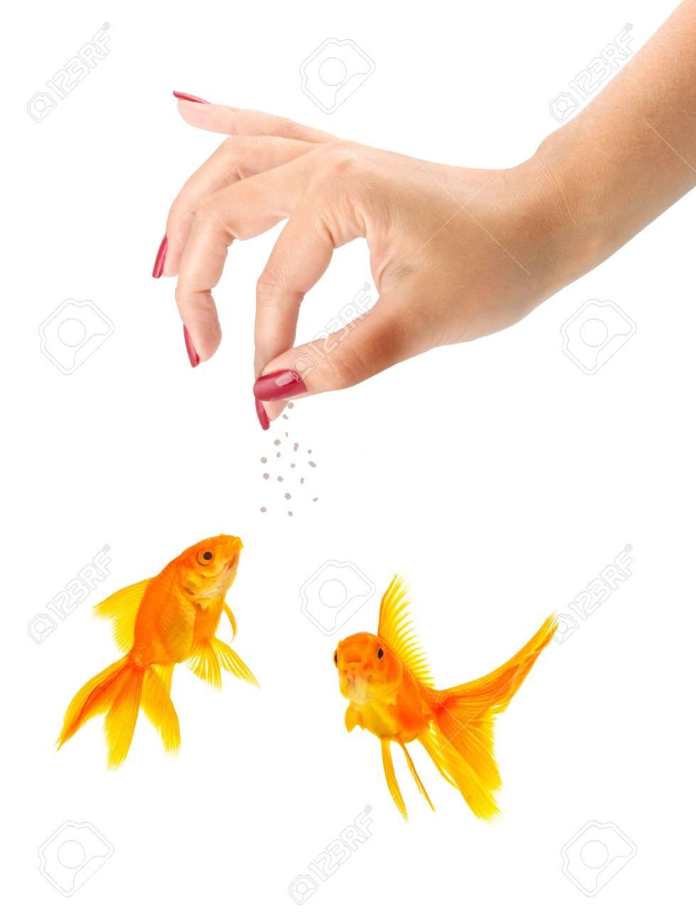 Woman feeding goldfishes isolated on a white background Stock Photo - 7998299