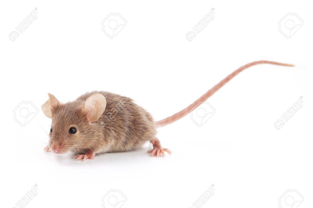 Hasil gambar untuk small mouse