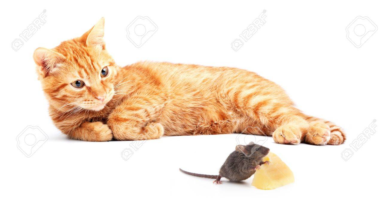 Mouse and cat isolated on white background Stock Photo - 14050920