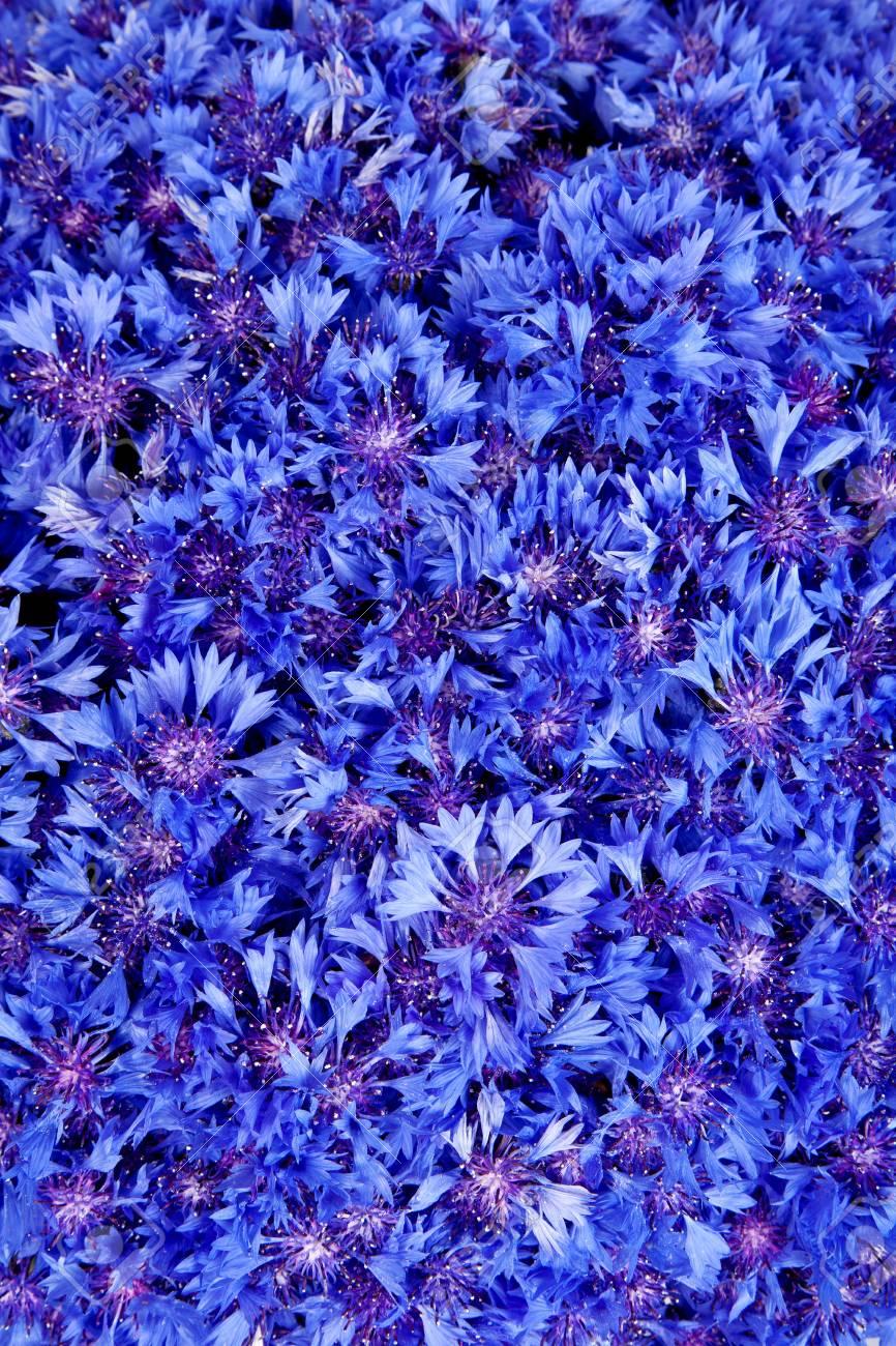 Beautiful Spring Flowers Blue Cornflower On Background Blue Stock