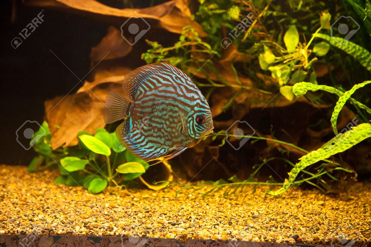 Colorful fish for aquarium freshwater - A Green Beautiful Planted Tropical Freshwater Aquarium With Colorful Tropical Fish Of The Symphysodon Discus Spieces