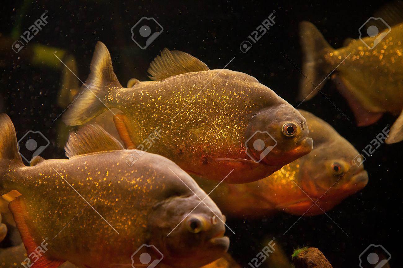 Freshwater aquarium fish piranha - Shoal Of Tropical Piranha Fishes In Freshwater Aquarium Stock Photo 15933443