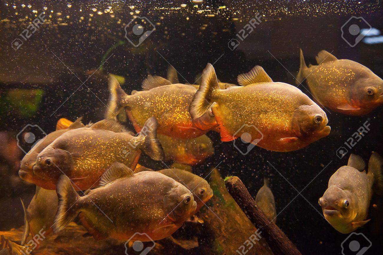 Freshwater aquarium fish piranha - Shoal Of Tropical Piranha Fishes In Freshwater Aquarium Stock Photo 15933555