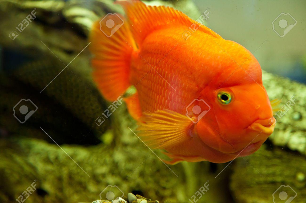 Fish for big aquarium - Stock Photo Tropical Freshwater Aquarium With Big Red Fish