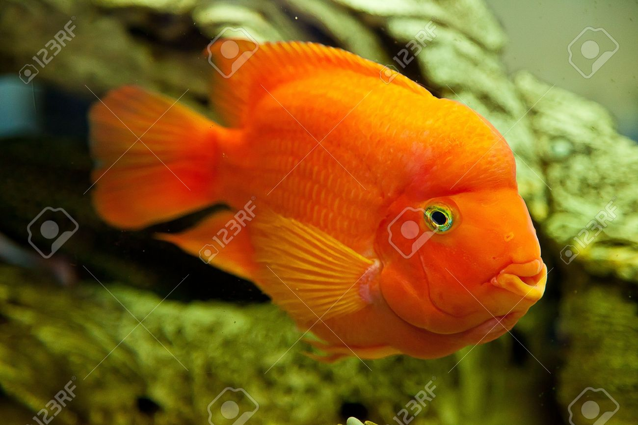 Freshwater fish tank yellow water - Stock Photo Tropical Freshwater Aquarium With Big Red Fish