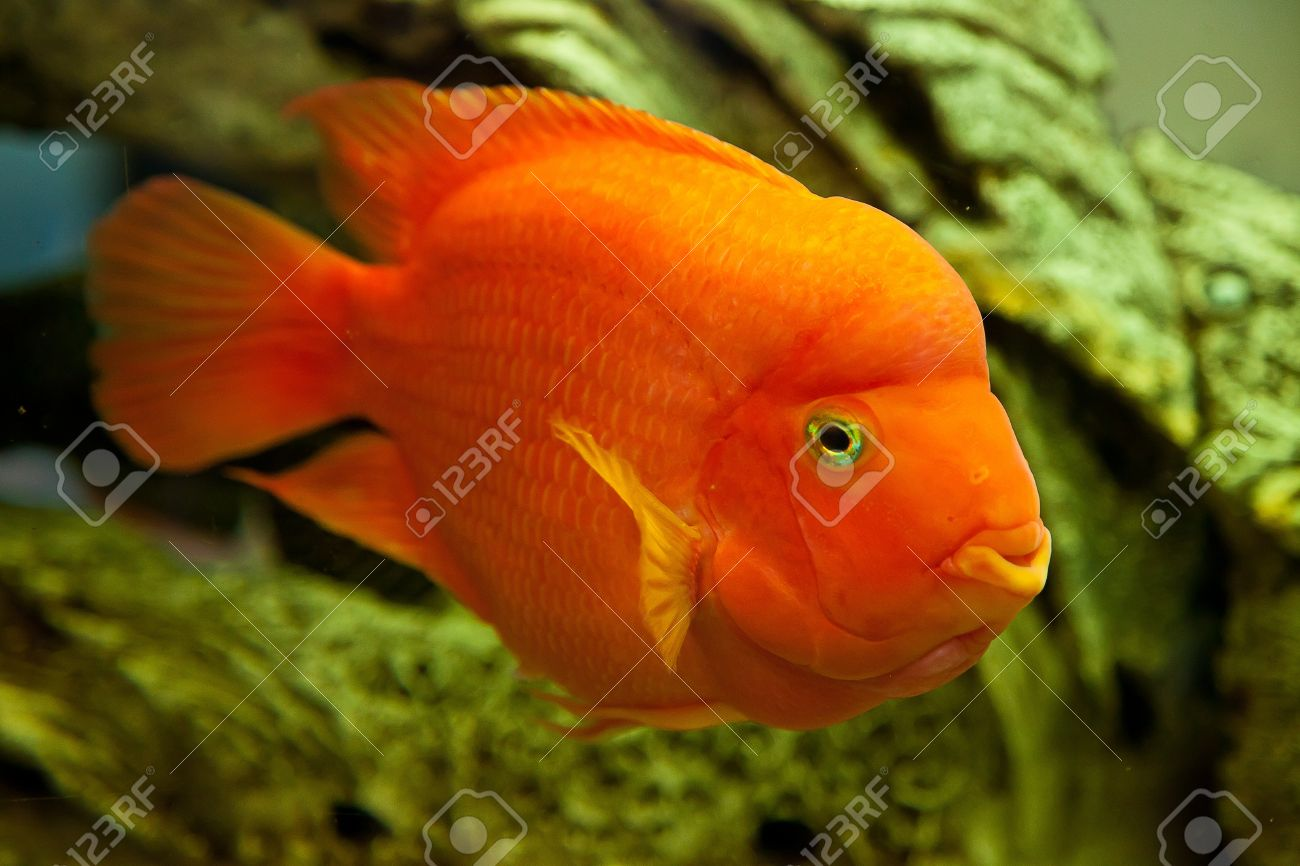 Big Freshwater Aquarium Fish Images Gallery >> If Anyone Is Into ...