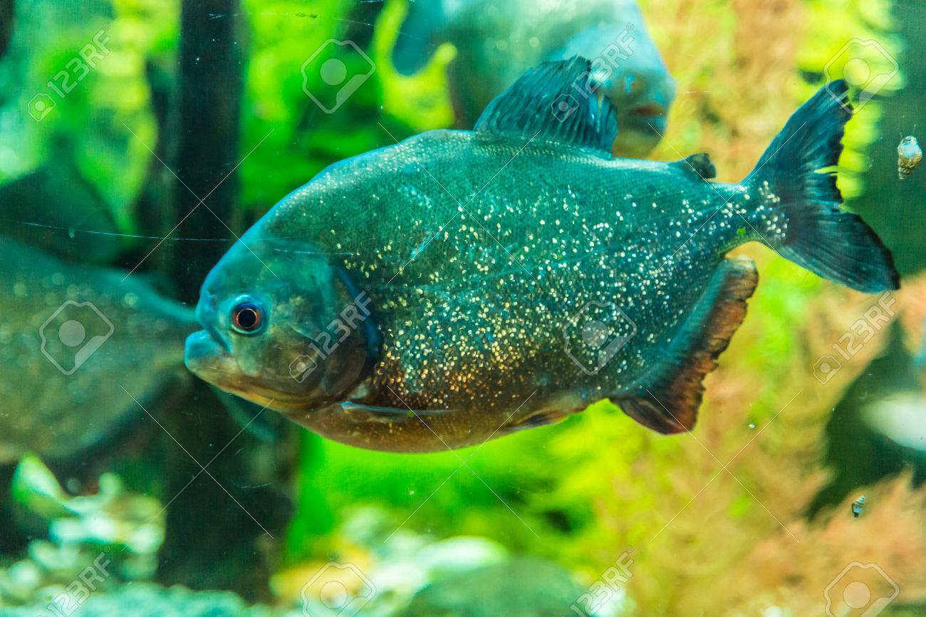 Freshwater aquarium fish piranha - Shoal Of Tropical Piranha Fishes In Freshwater Aquarium Stock Photo 22260358