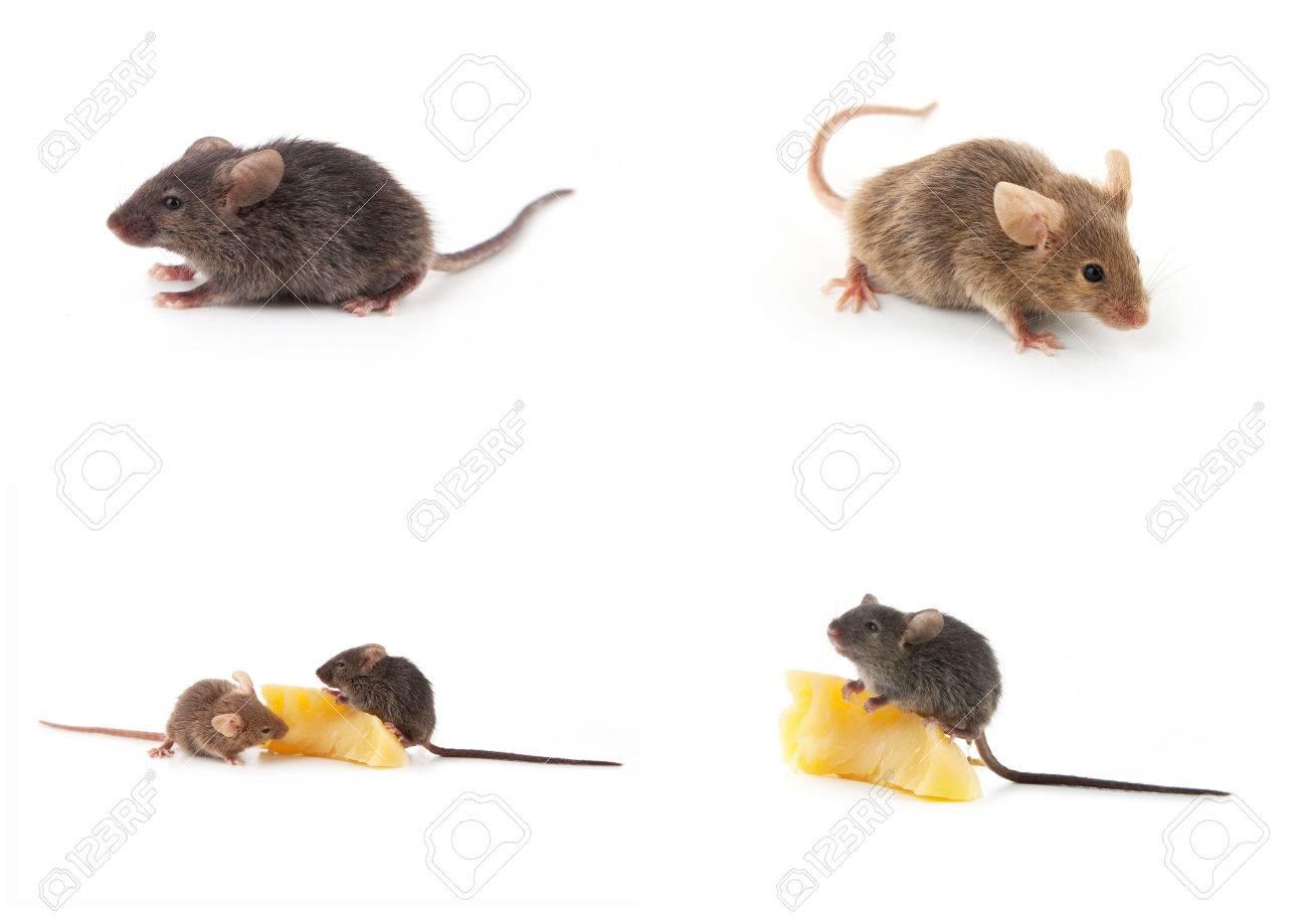 ajuste de los ratones ratn y queso aislado en un fondo blanco foto de archivo
