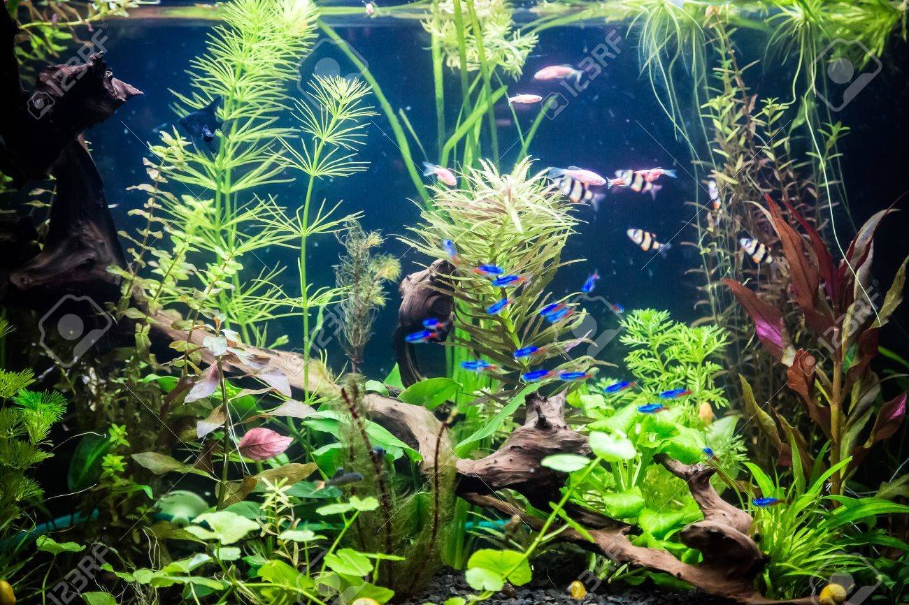 A green beautiful planted tropical freshwater aquarium with fishes Stock Photo - 26886454