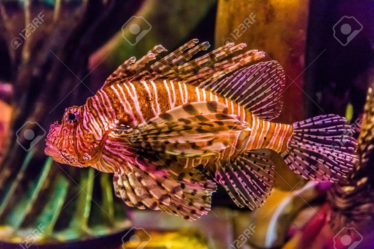Freshwater aquarium fish in dubai - Lionfish In A Dubai Aquarium Pterois Mombasae Petrois Volitans Lionfish Turkeyfish