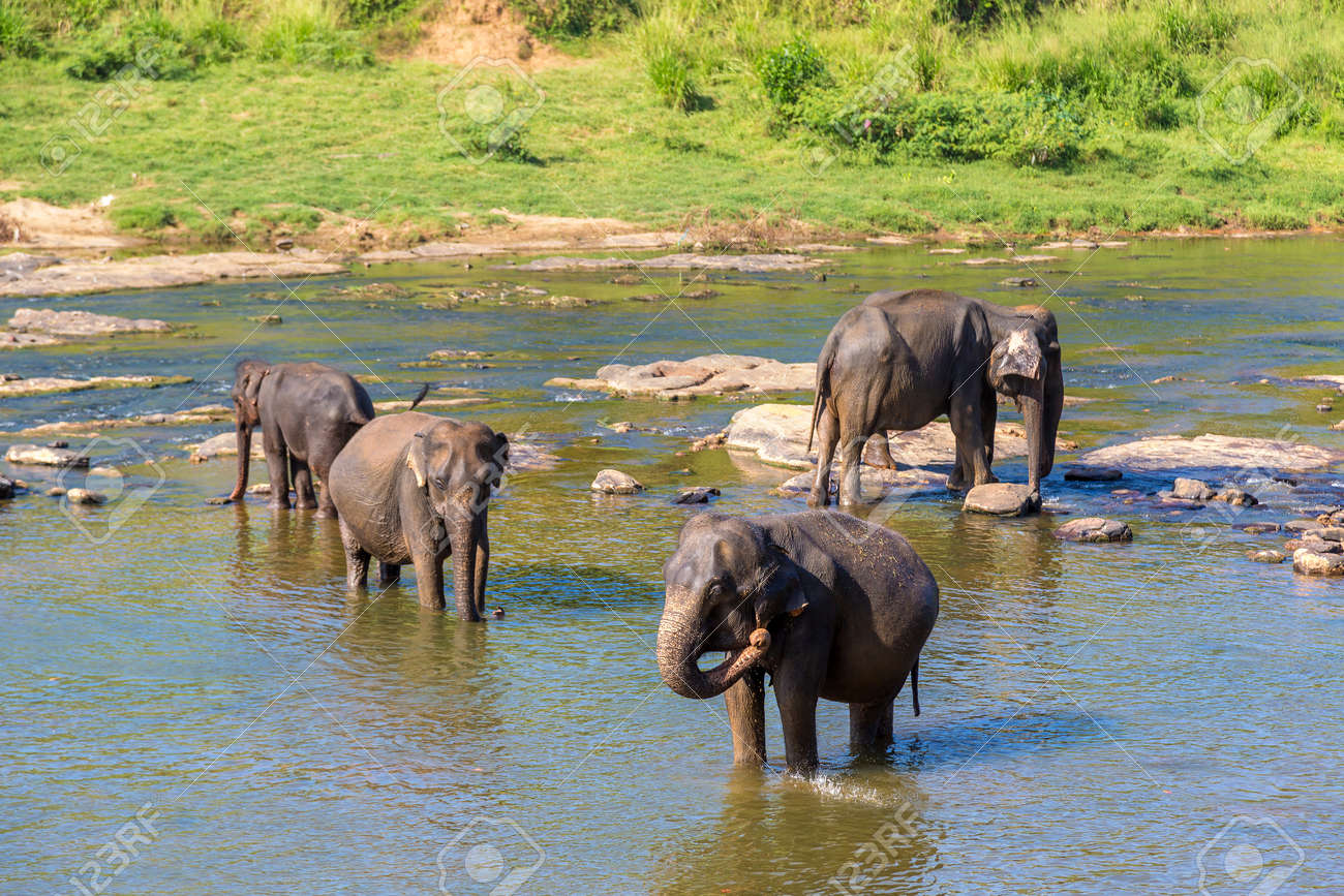 Herd of elephants at the river in Sri Lanka - 173329209