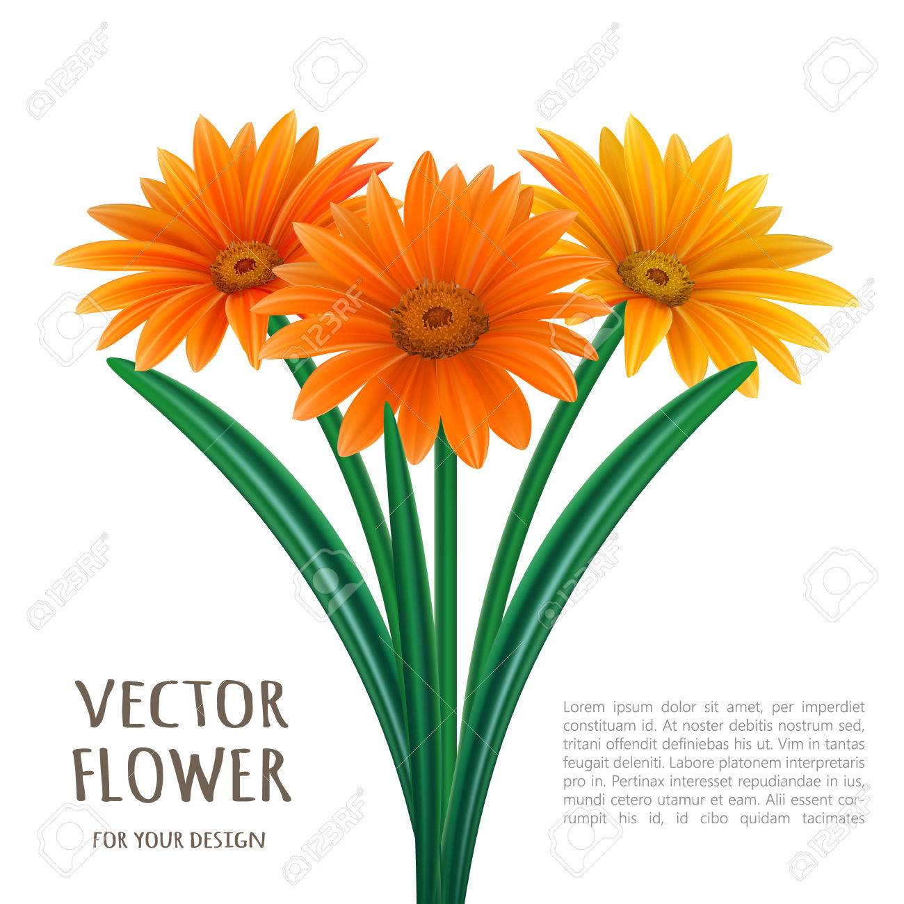 hand drawn vector realistic illustration of gerbera daisy flower rh 123rf com gerbera daisies clip art gerber daisy clip art free