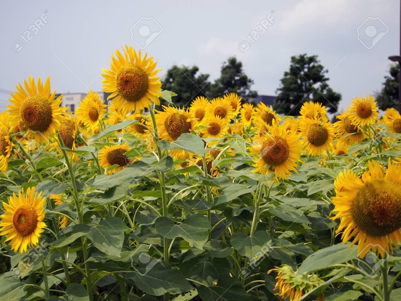Flower of sunflower Stock Photo - 16083752