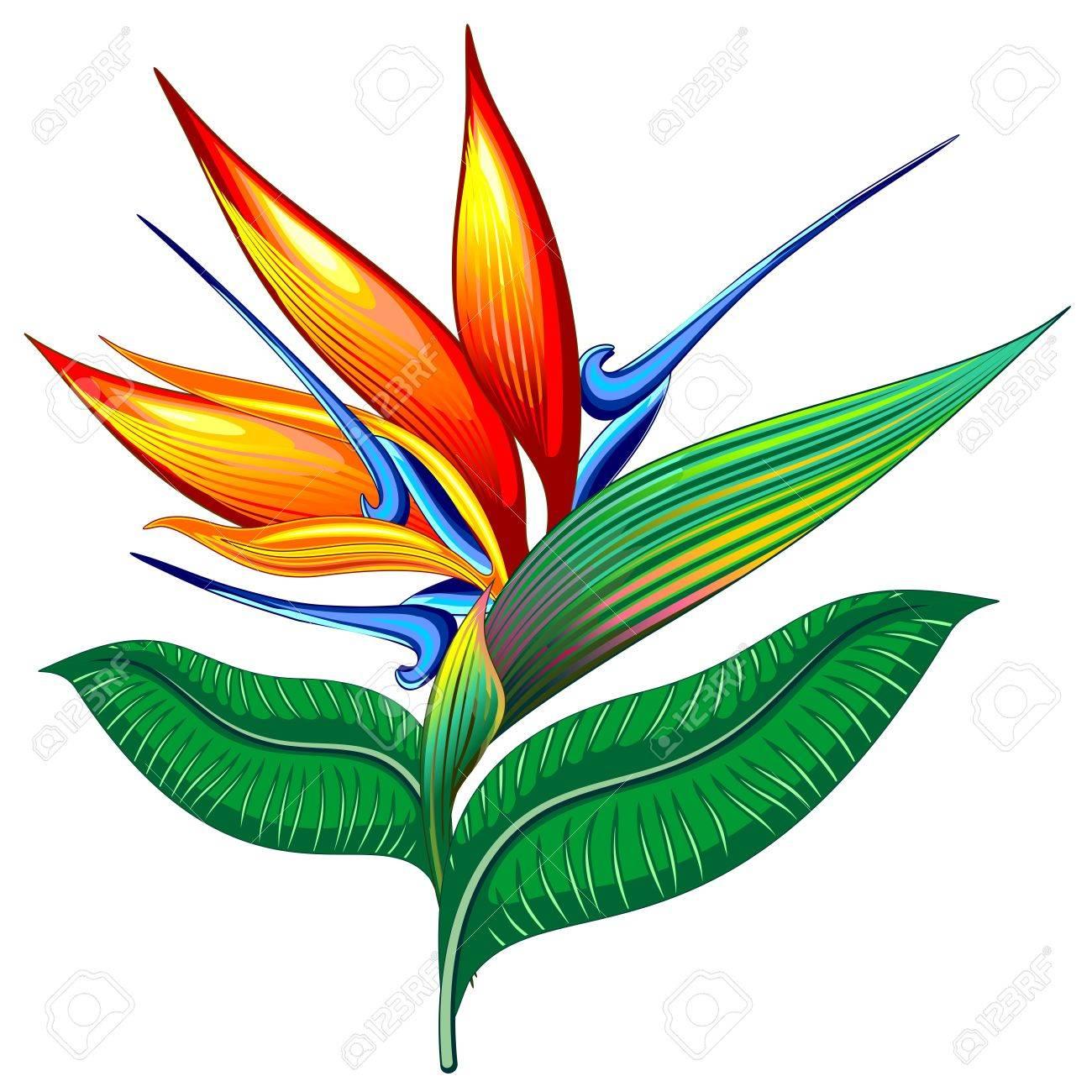 Bird of paradise flower exotic botanical vector illustration bird of paradise flower exotic botanical vector illustration strelizia stock vector 66676928 buycottarizona