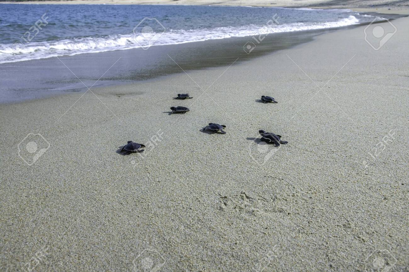 Group of baby sea turtle release into ocean - 146034591