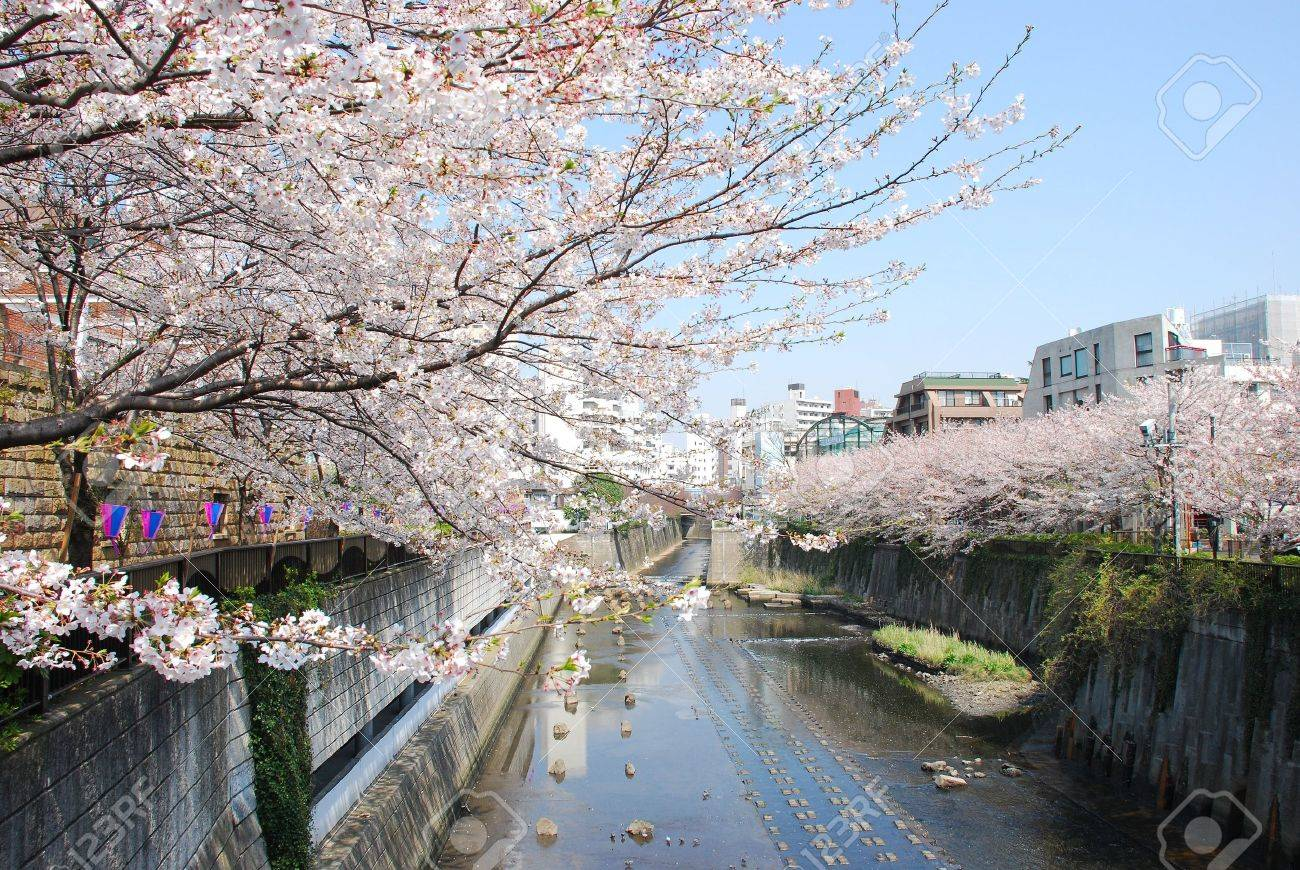 japanese sakura blossom in meguro canal - 8875912