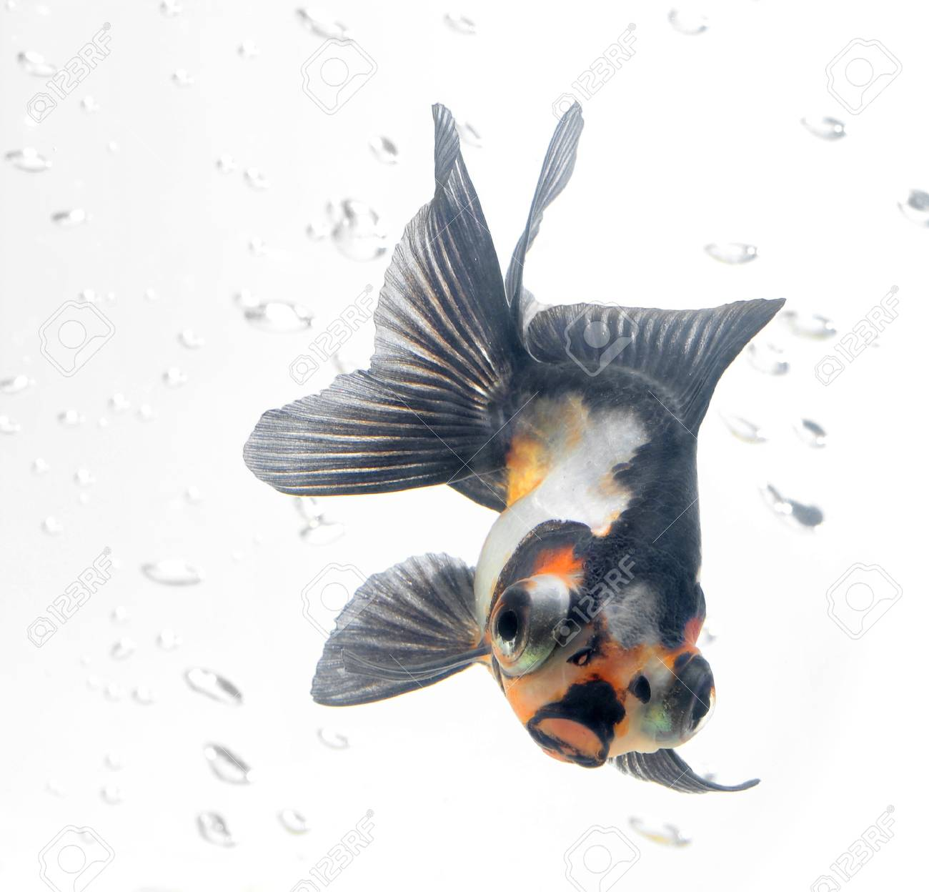 gold fish isolated on white background Stock Photo - 10575997