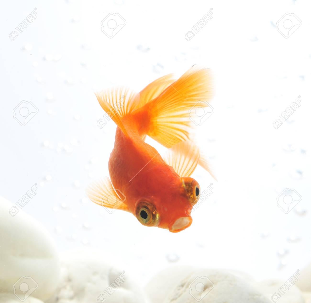 goldfish in fishbowl Stock Photo - 10616570