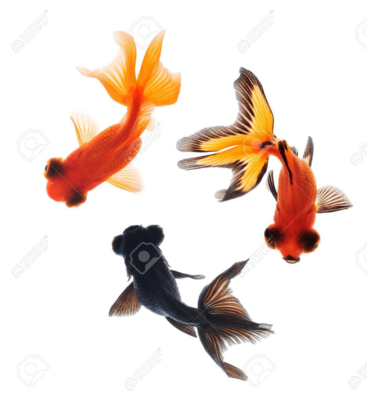 goldfish pet isolated on white background Stock Photo - 10705077