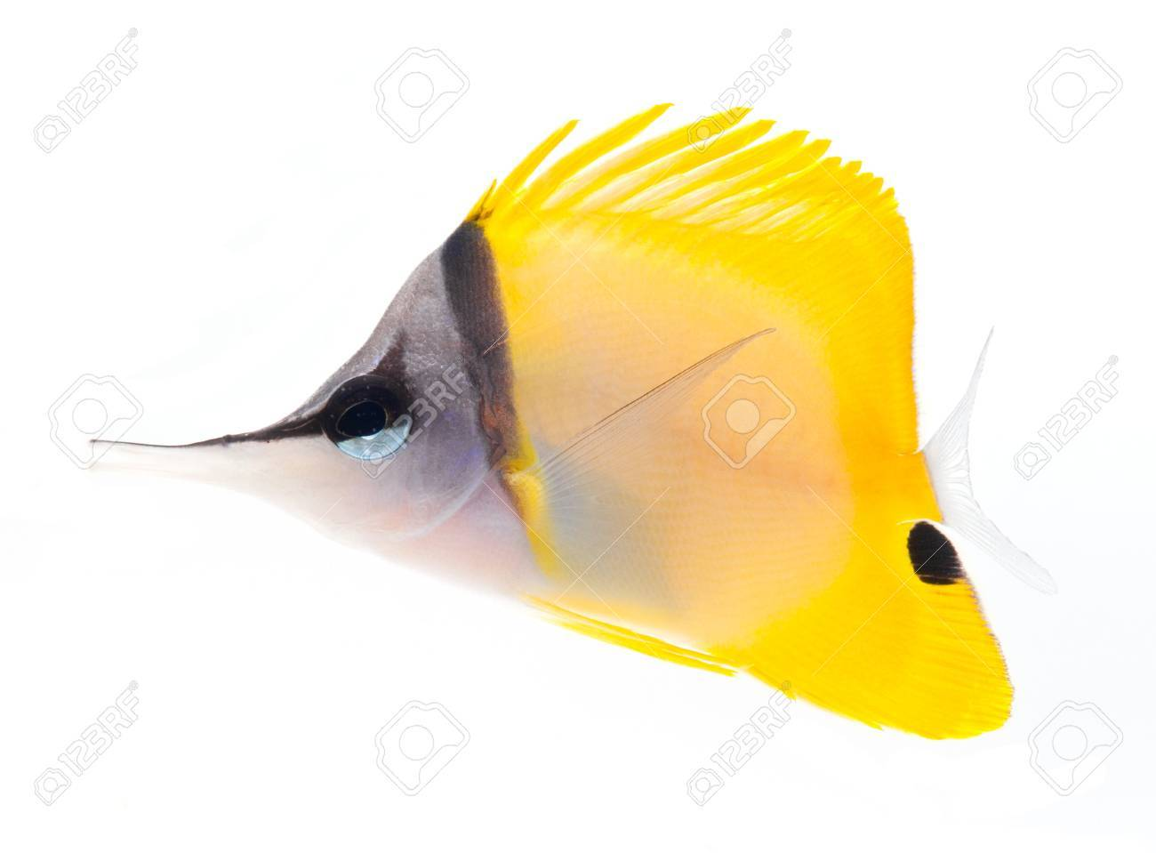 yellow longnose butterflyfish isolated on white background Stock Photo - 11108033