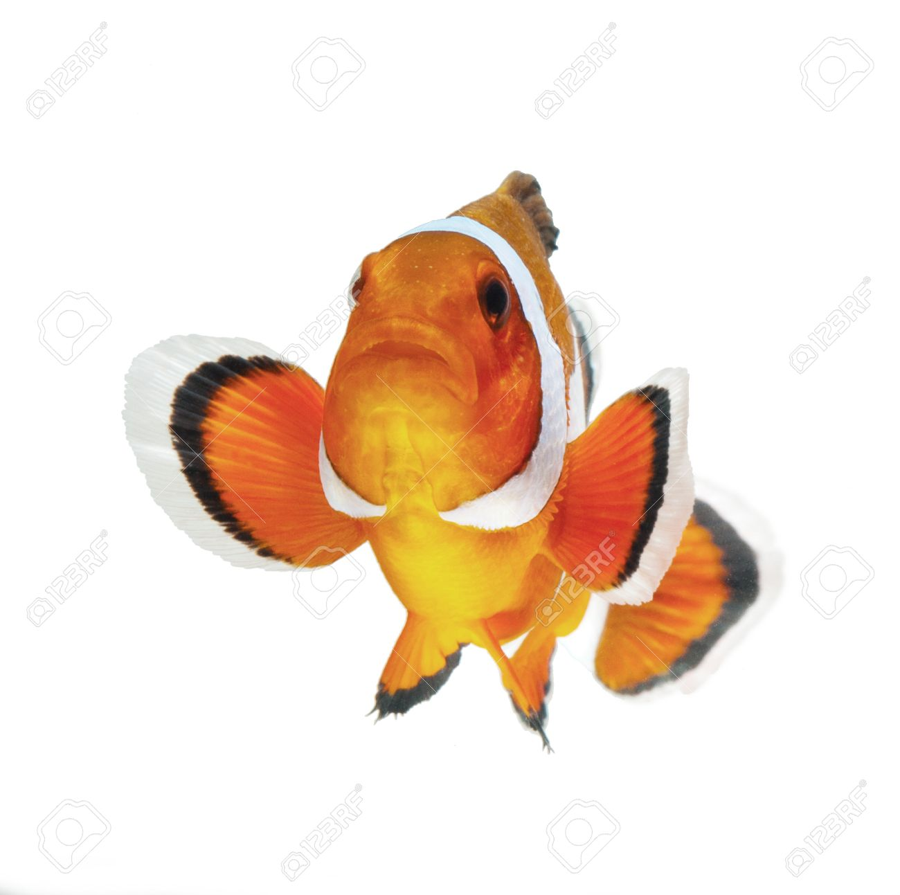 clown fish isolated on white background Stock Photo - 11108040