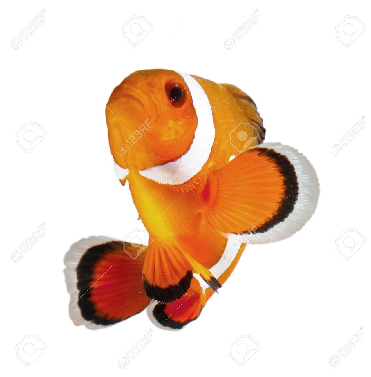 clown fish isolated on white background Stock Photo - 11108047