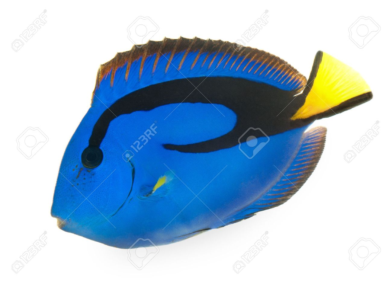 blue tang , marine coral fish isolated on white background Stock Photo - 11154893