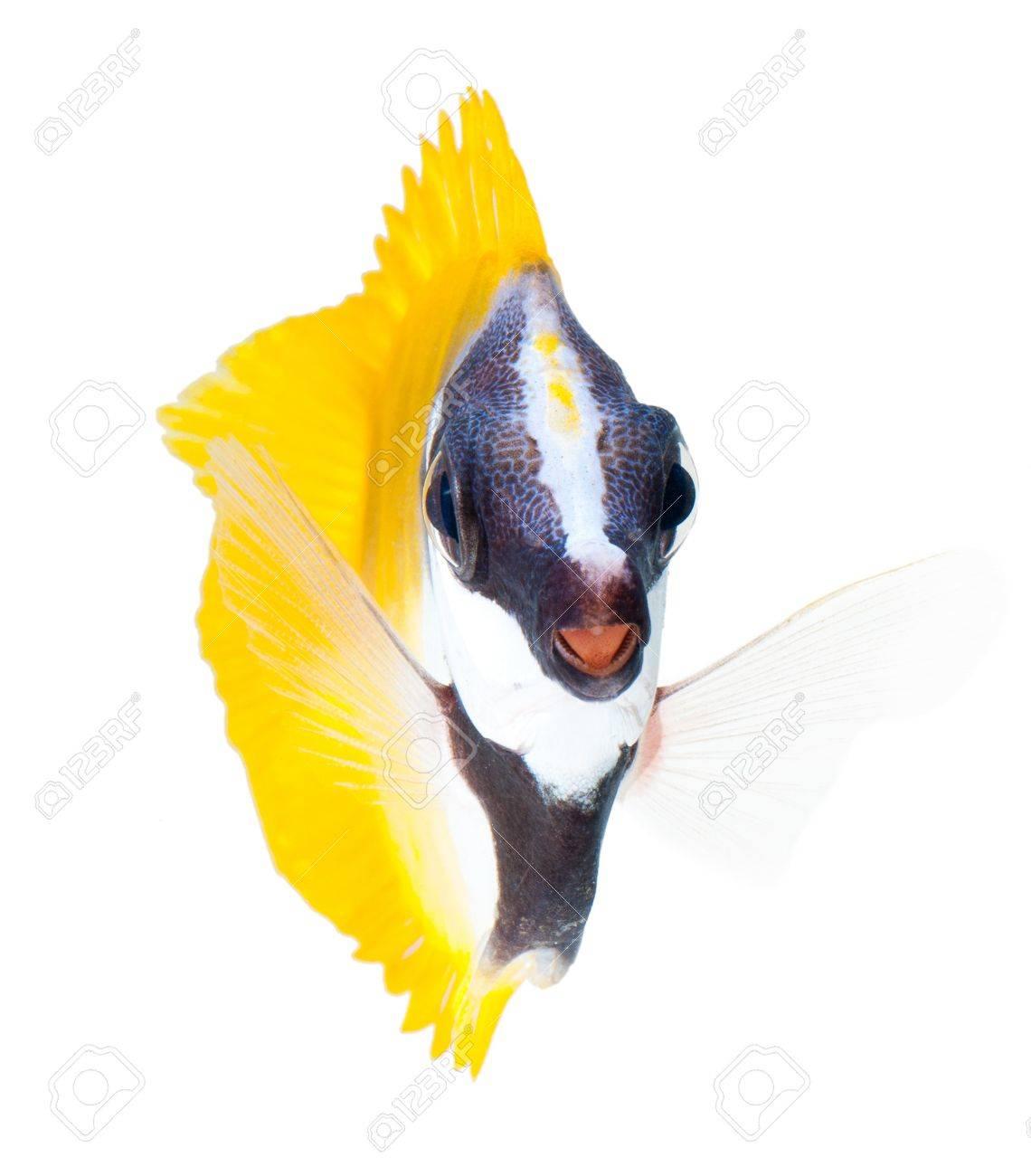 reef fish, foxface tabbitfish, isolated on white background Stock Photo - 11154887