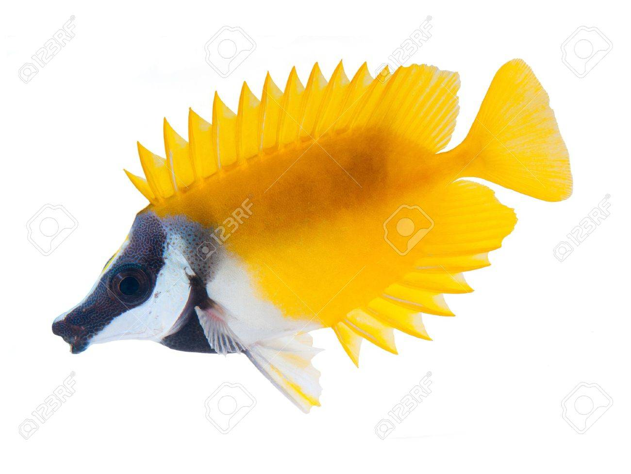 reef fish, foxface tabbitfish, isolated on white background Stock Photo - 11154896
